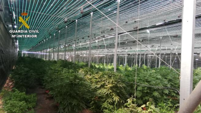 Finca de marihuana desmantelada en Guía de Isora
