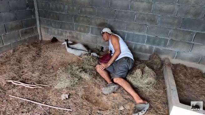 Frank Cuesta ayuda a la cabra a dar a luz.