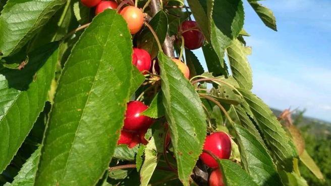 Imagen de una de las ramas de un cerezo del Valle de las Caderechas