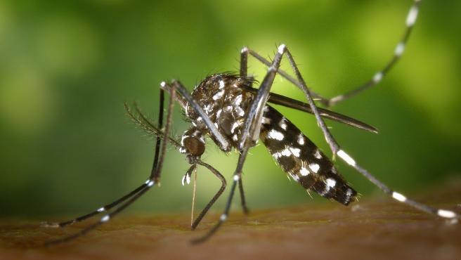 Mosquito tigre (Aedes albopictus).