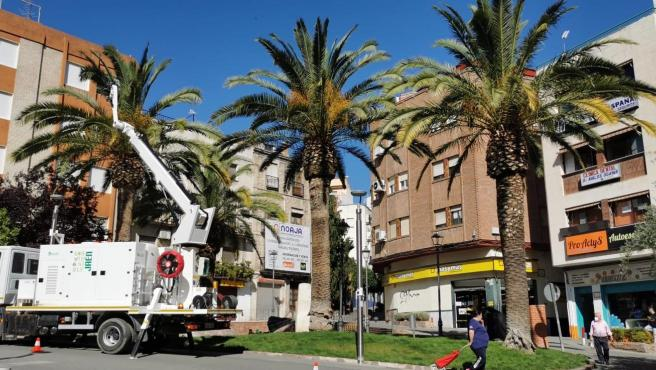 Palmeras en Jaén
