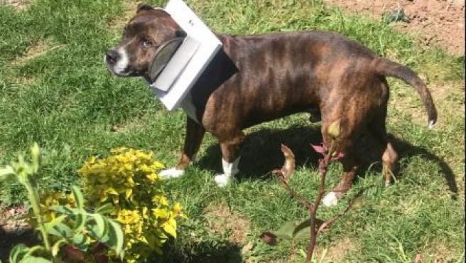 Jock, el perro que quedó atrapado en una gatera.