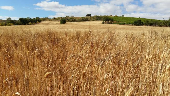 Córdoba.- La UCO participa en la identificación de genes de referencia útiles para la mejora genética del trigo