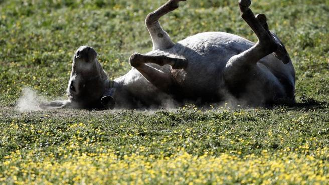 Un burro se arrasca tumbado boca abajo en una pradera de Pamplona.