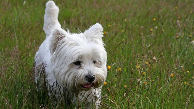 Perro de la raza west highland white terrier.