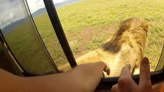Una turista saca la mano por la ventanilla para tocar a un león.