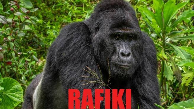 Imagen de Rafiki, uno de los últimos gorilas de montaña más famosos de Uganda, cuya especie está en grave peligro de extinción.