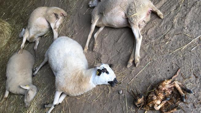 Ovejas muertas tras el ataque del lobo en Barreras (Salamanca).