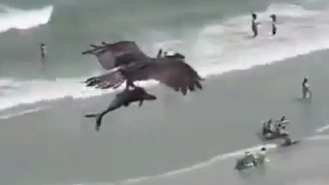 El águila vuela con el tiburón sujeto por sus garras.