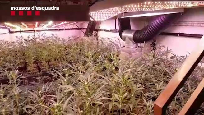 Una de las plantaciones interiores de marihuana desarticuladas por la policía catalana.