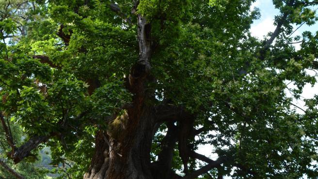 Árbol Castaño Santo de Istán, que se prevé declarar Monumento Natural