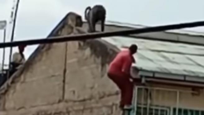 Un vecino de Nairobi (Kenia), sufrió múltiples heridas tras precipitarse desde un cuarto piso al ser atacado por sorpresa por un babuino, que se encontraba sobre el tejado de su casa.