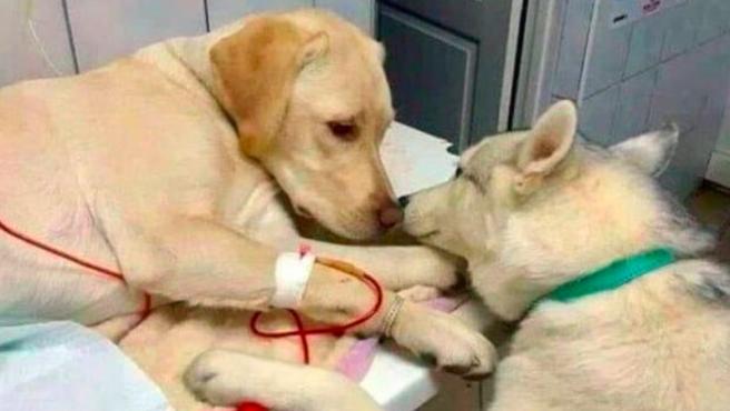 Este perro ayuda a los pacientes del veterinario a calmarse.