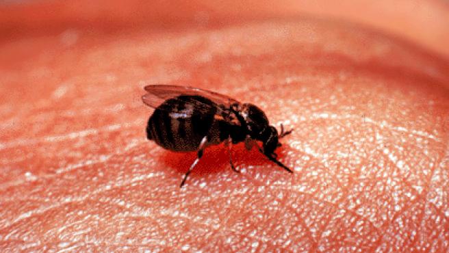 Imagen de un ejemplar hembra de mosca negra.