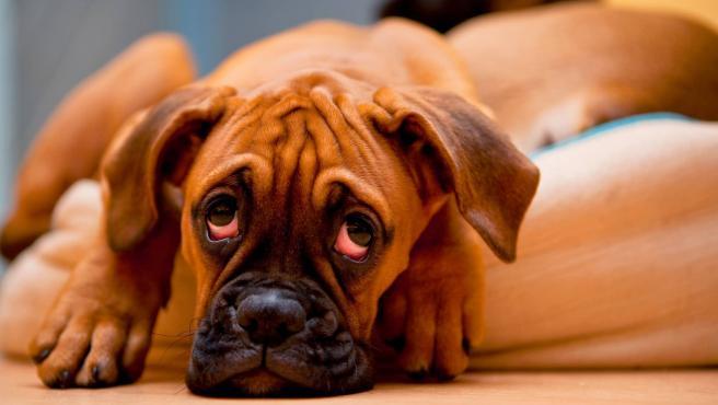 Perro con cistitis