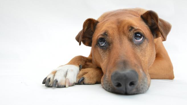 La otitis en los perros puede hacer que estén más apáticos a causa de la fiebre.