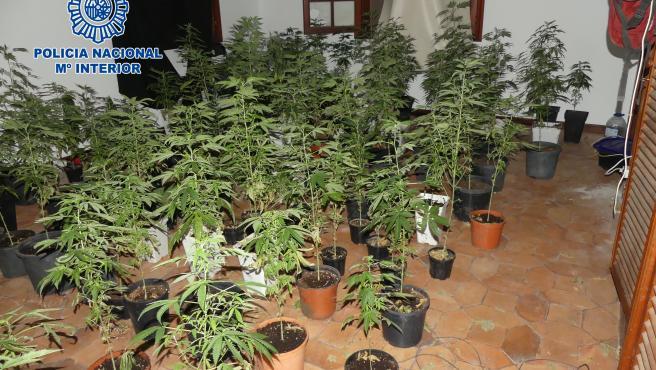 Detienen a dos personas en una casa ocupada y con 200 macetas de marihuana en Puerto de la Cruz (Tenerife)