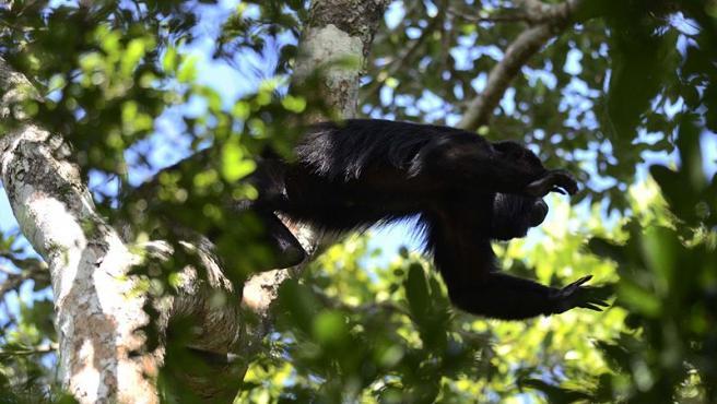 Mono aullador negro, Alouatta pigra Foto Amado Demesa Wikimedia Commons