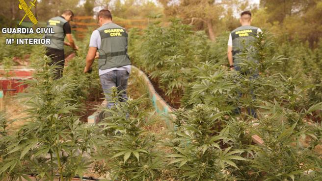 Plantación de marihuana intervenida en una masa forestal en Chella