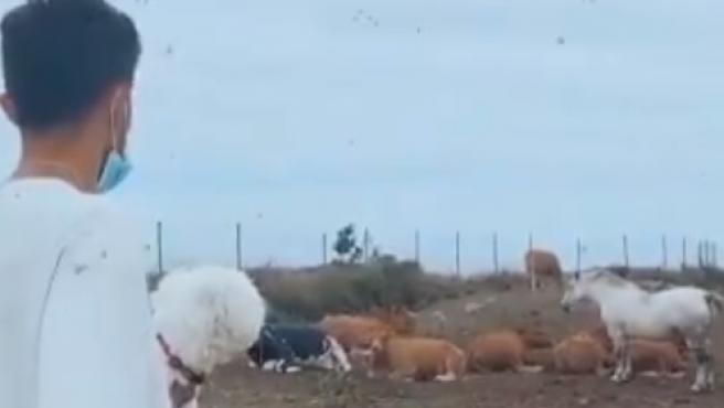 El hijo de Setién, Laro, con sus vacas.