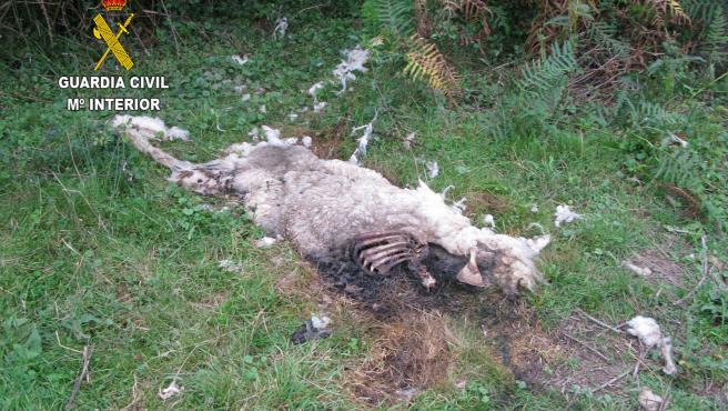 Cabra muerta en Llanes