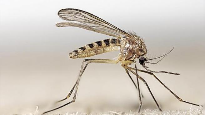 Imagen de archivo del mosquito 'Culex'.