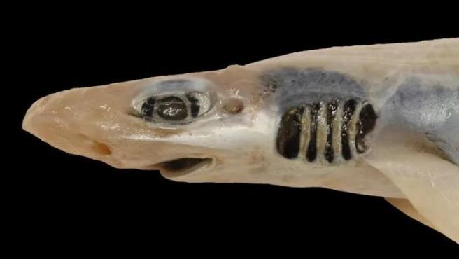 Descubren tiburón sin piel ni dientes