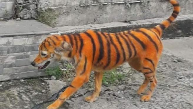 Imagen del perro pintado como un tigre.