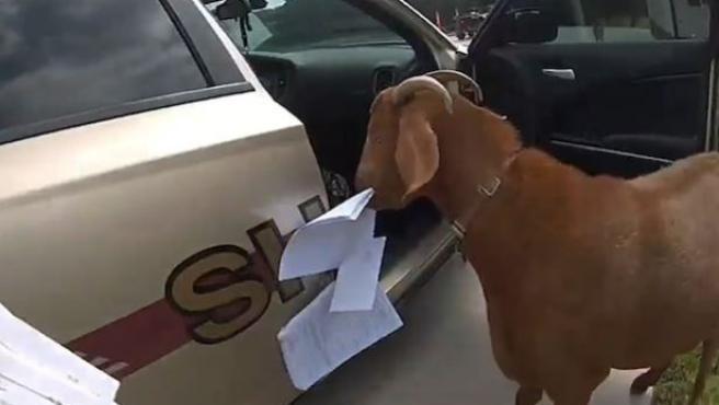 Una cabra, comiéndose los papeles de una policía.