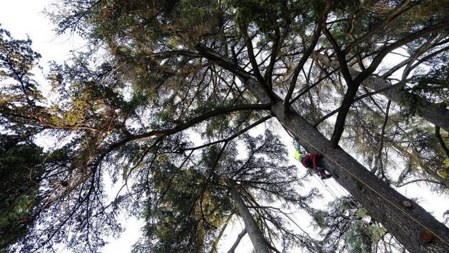 SEVILLA 20/12 /2018 Poda de árboles centenarios en el Alcázar de Sevilla. FOTO: Pepo Herrera