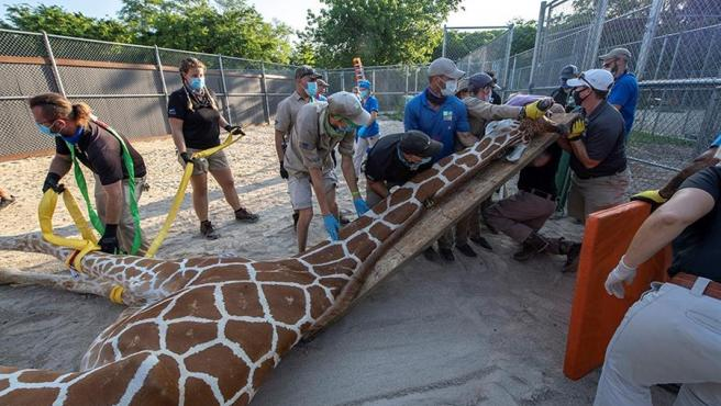 Técnicos del zoológico de Miami preparan a la jirafa 'Pongo' para tratar de curarle dos patas fracturadas.