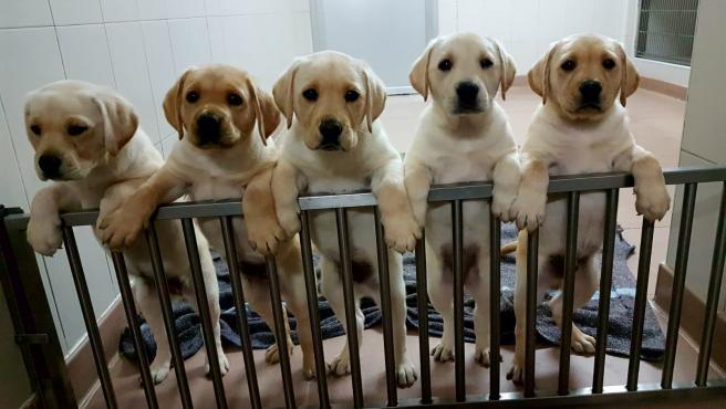 La Fundación ONCE del Perro Guía cumple 30 años con cerca de 100 canes en la Comunitat Valenciana