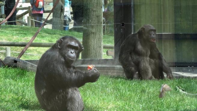 Imagen de archivo de gorilas en el Zoo de Madrid.