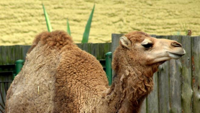 Investigadores evaluarán la eficacia de terapia génica con nanoanticuerpos de camélidos contra la EH