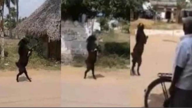 Tres escenas de la cabra caminando sobre sus dos patas.