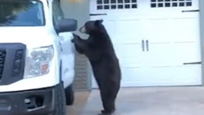 El intrépido oso que subió a una camioneta y cerró la puerta tras él.