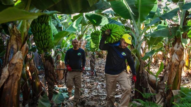 Recolección del plátano del Canarias