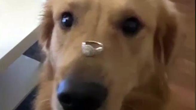 Un vídeo de una mujer recién comprometida, posando junto a su perro con su flamante anillo, se ha vuelto viral después de que el animal se lo zampara al pensar erróneamente que le había dado un premio.