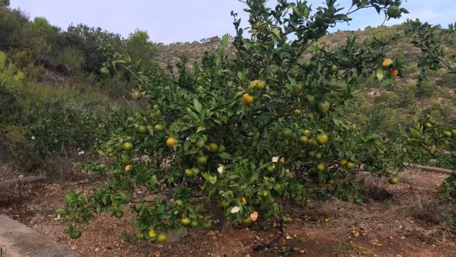 Cítricos comidos por los jabalíes en Tavernes de la Valldigna