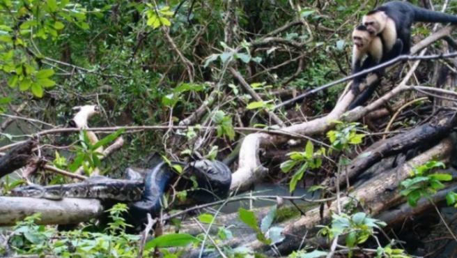 Un grupo de monos atacando a la boa.