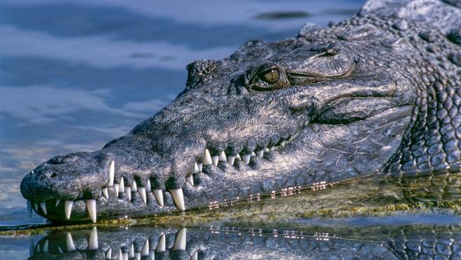 Imagen de archivo de un cocodrilo.