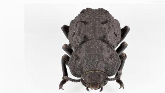 El escarabajo acorazado