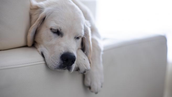 Un perro, descansando en un sofá.