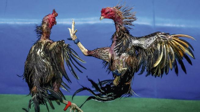 Dos gallos luchan durante una pelea.