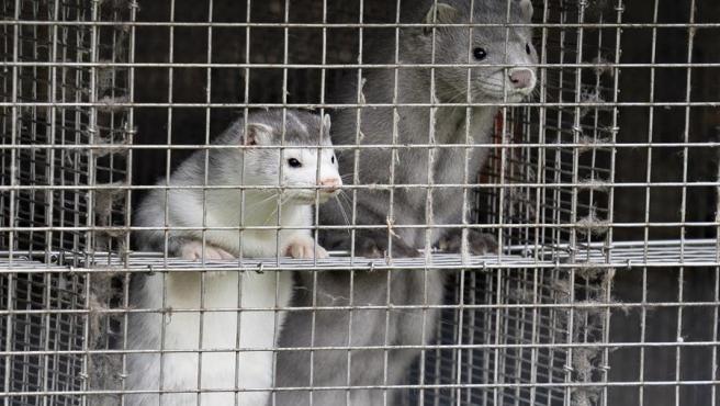 Imagen de archivo de dos visones enjaulados. La nueva variante del virus ha sido descubierta en una granja de estos animales.