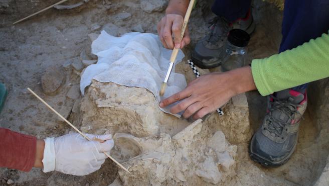 Recuperación del cráneo de uro descubierto en Valencina de la Concepción