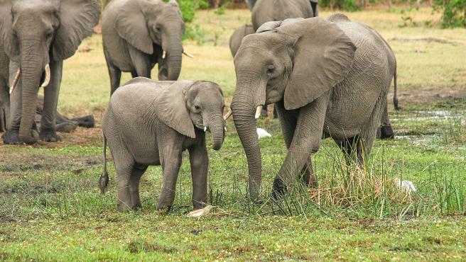 Es uno de los embarazos más largos del reino animal, ya que se prolonga aproximadamente 22 meses. No es de extrañar por tanto que las crías recién nacidas superen los 100 kilógramos de peso.