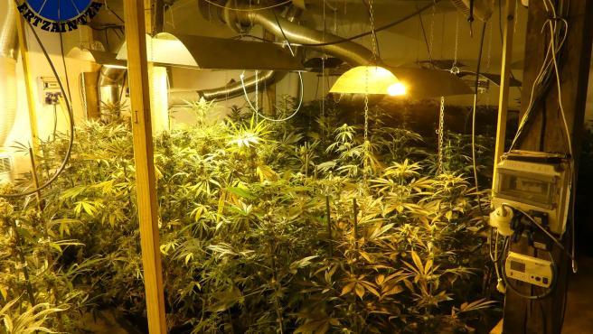 Plantación de marihuana en Mundaka