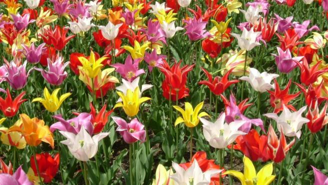 Tulipanes, una de las muchas especies de plantas bulbosas.