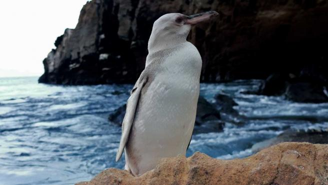 Imagen del pingüino blanco visto en las Islas Galápagos.